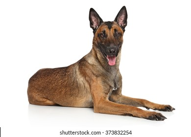 Happy Belgian Shepherd dog Malinois lying down on a white background