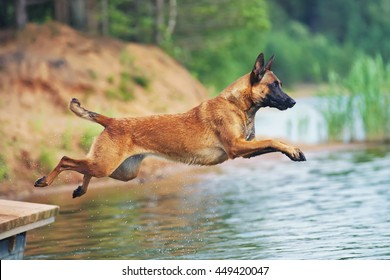 Happy Belgian Shepherd dog Malinois jumping into water from a wooden pontoon in summer