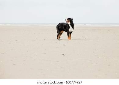 Happy berner sennen dog outdoors playing and running on the beach. Enjoying nature. Stormy day.