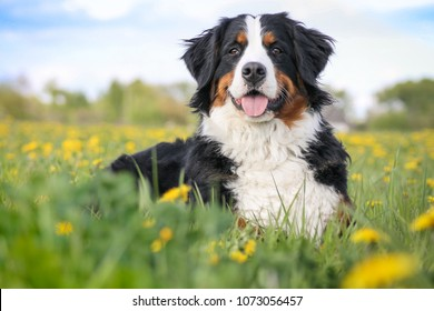 Happy bernese mountain dog in beautiful spring flowerd field. Spring flovers and dog.
