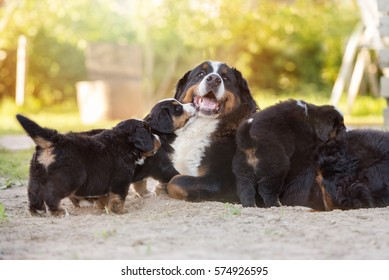 happy bernese mountain dog with her puppies outdoors