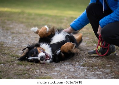 Happy Bernese Mountain Dog rolling on the ground