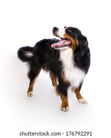 Happy Bernese Mountain dog standing wagging tail isolated on white background