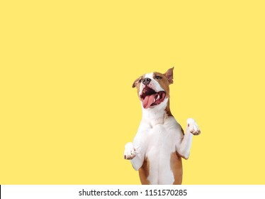 A happy big dog on a bright yellow background