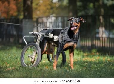 Happy big dog in wheelchair or cart walking in park