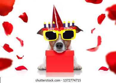 happy  birthday jack russell dog with a present or gift with lots of roses flying around in love for valentines or aniversary, isolated on white background