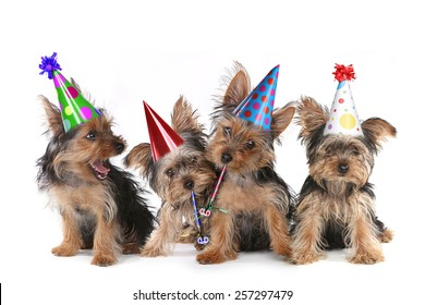 Happy Birthday Theme Yorkshire Terrier Puppies on White Singing