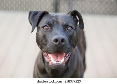 Happy black dog plays in fenced yard