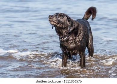 Happy black Labrador dog sniffing the air while stood in the sea with tail wagging.  Whole dog shot