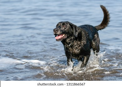 Happy black Labrador dog splashing about in the sea with tail wagging.  Whole dog shot