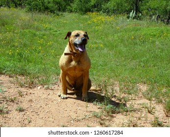 Happy Black Mouth Cur Dog sitting in a Field