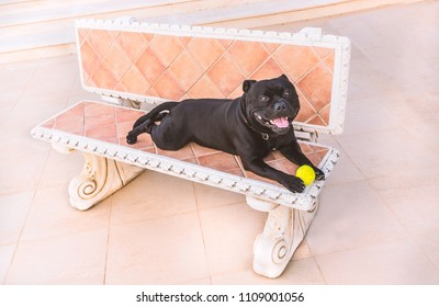happy black Staffordshire  Bull Terrier dog lying on a stone bench with a tennis ball looking at the camera