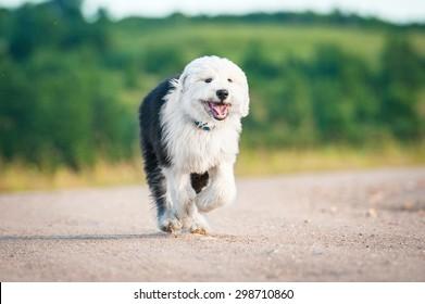 Happy bobtail puppy running