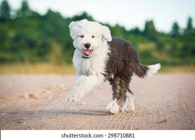 Happy bobtail puppy running in summer
