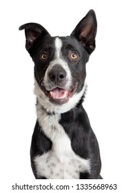 Happy Border Collie crossbreed dog with smiling expression looking at camera