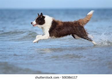 happy Border Collie Dog on sea flying, splash in ocean waves