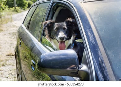 A happy border collie Looking Out Of Car Window