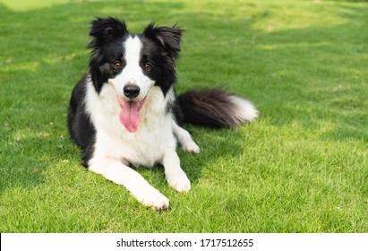 Happy border collie lying on the grass