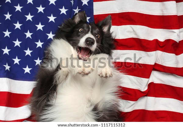 Happy border collie playing on American flag