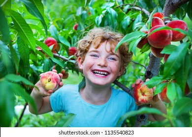 happy boy harvesting peaches in fruit garden, little kid picking and eating fresh ripe peach from tree on organic pick own fruit farm