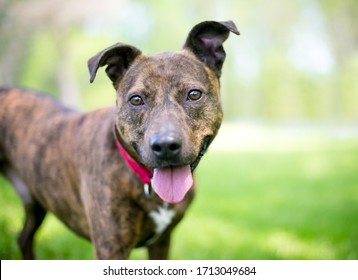 A happy brindle mixed breed dog with floppy ears standing outdoors