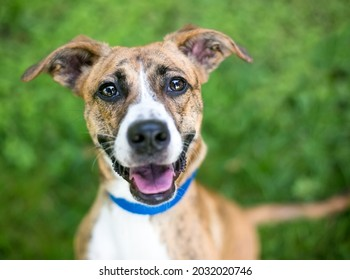 A happy brindle and white mixed breed dog with floppy ears looking up at the camera and smiling