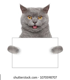 Happy British cat holding in his paws white blank card.