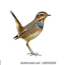 Happy brown bird with blue and orange feathers on its body happily standing having tail wagging isolated on white background, fascinated animal