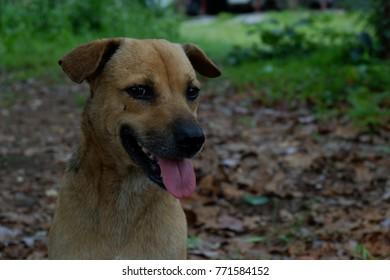 happy brown dog portrait