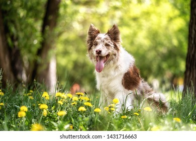 Happy brown and white border collie dog with tongue sticking out lying down in green grass with yellow flowers. Summer day in a meadow.
