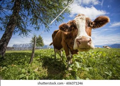 Happy Brown and White flecked Cows in the European Alps in Austria Muehlbach am Hochkoenig near Salzburg