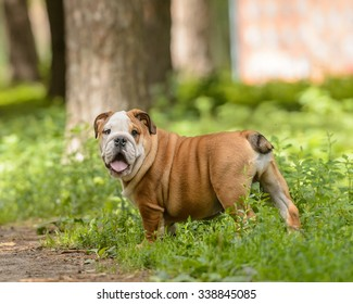 happy bulldog puppy walks in the park