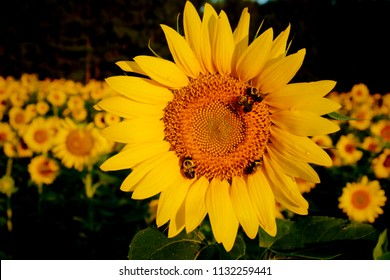 Happy bumble bees in the sunflower field at Dorothea Dix Park in Raleigh North Carolina