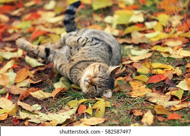 Happy cat lying on back on the leaves in autumn, enjoying good weather