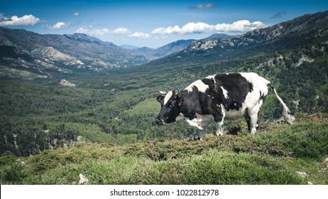 Happy cattle in beautiful landscape in Corsica.