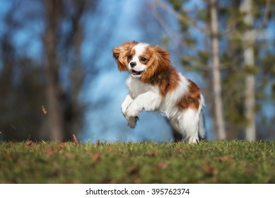 cavalier king charles spaniel images stock photos vectors