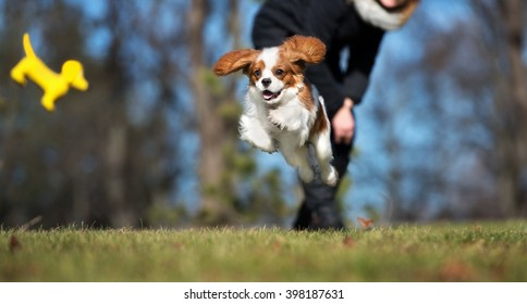happy cavalier king charles spaniel puppy playing outdoors