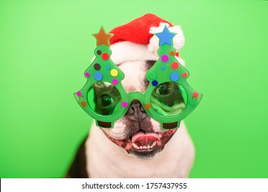 A happy and cheerful Boston Terrier dog in a Santa Claus hat and decorative glasses in the form of a Christmas tree on a green background.