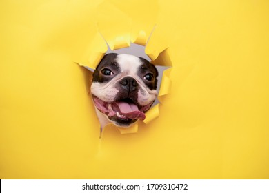 A happy and cheerful dog of the Boston Terrier breed sticks its muzzle into a torn yellow paper hole.