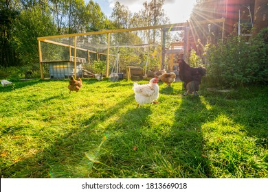 Happy chicken outside their pen