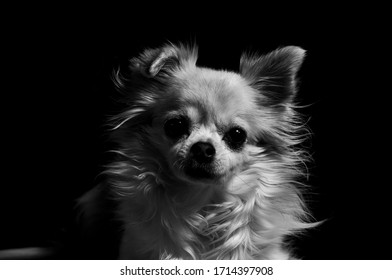 Happy chihuahua dog in black and white