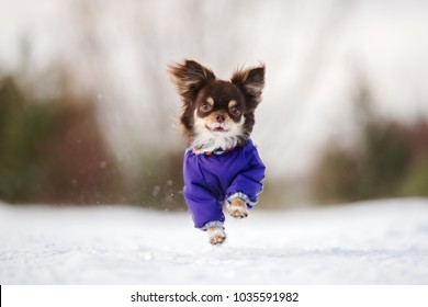 happy chihuahua dog running outdoors in winter