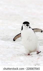 A happy chinstrap penguin in Antarctica.