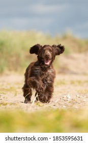 A happy chocolate cocker spaniel puppy running along a beach with its ears flapping.