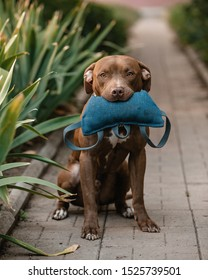 Happy chocolate pitbull sitting in the park