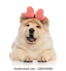 happy chow chow wearing pink bone headband resting on white background with blue tongue exposed