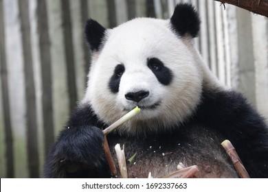 Happy Chubby Female Panda is Eating Bamboo Shoot, Chengdu, China