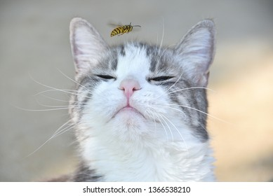 Happy and content gray and white cat with pink nose sniffs flying bee yellow jacket wasp