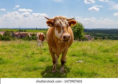 happy cow in german region Odenwald