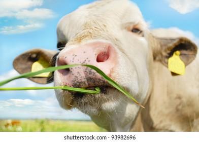 Happy cow grazing